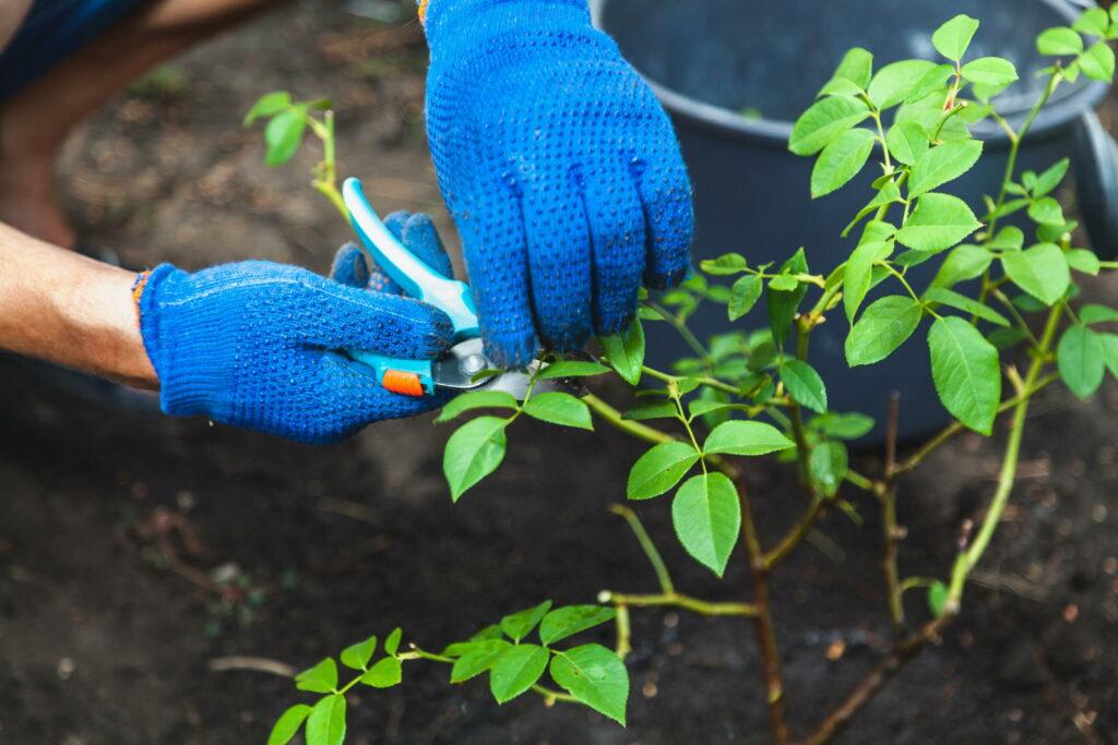 Rose im Beet wird zugeschnitten