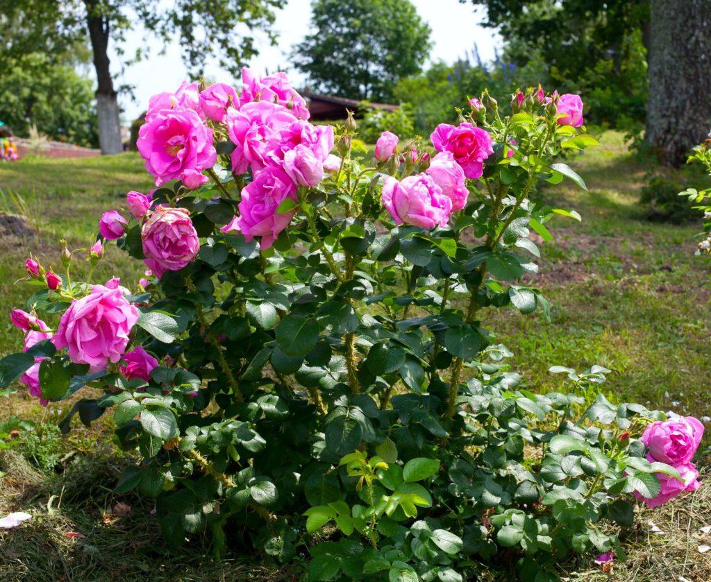 Rosa Rosenbusch im Garten