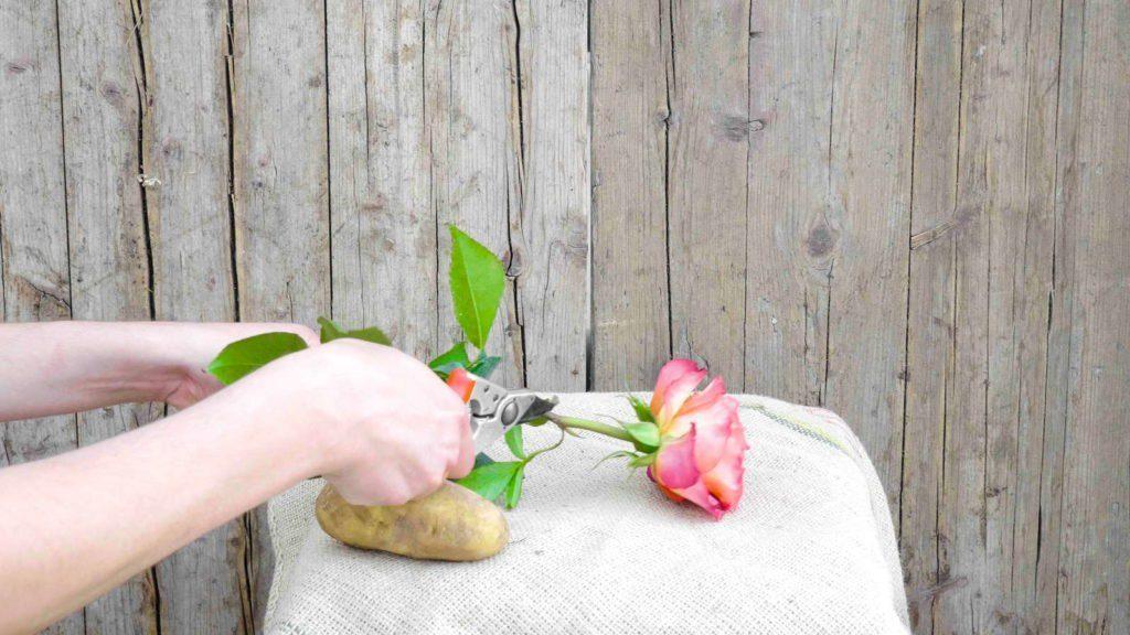Rose auf Kartoffel veredeln