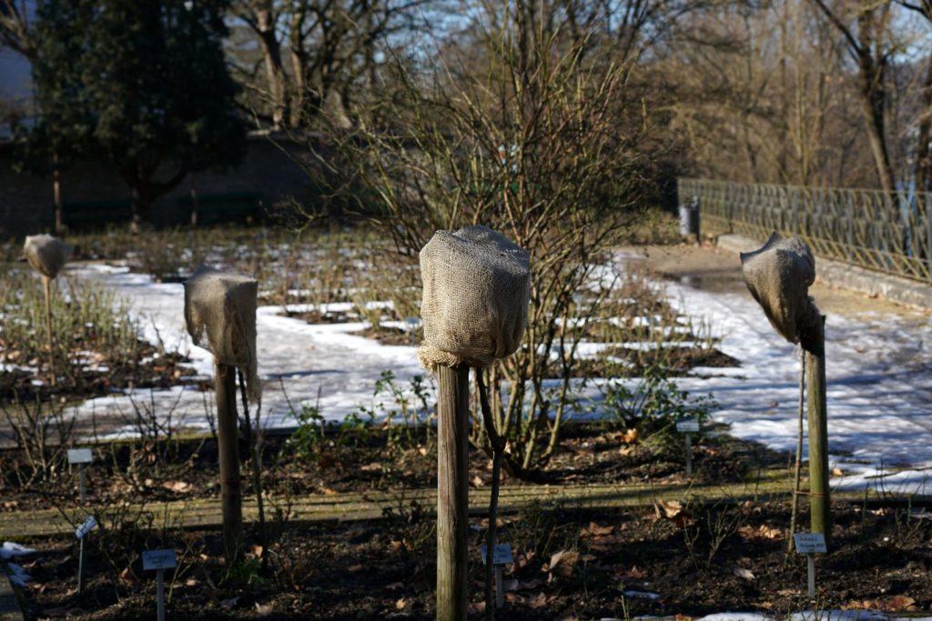 Hochstammrosen im Winter