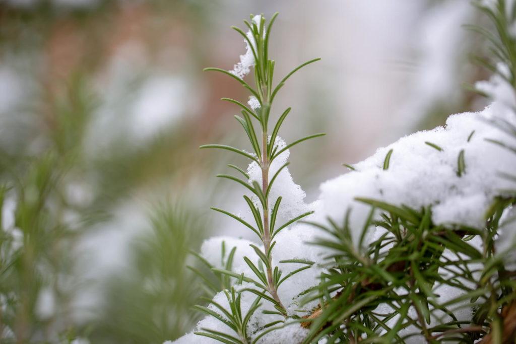 Rosmarin mit Schnee überdeckt