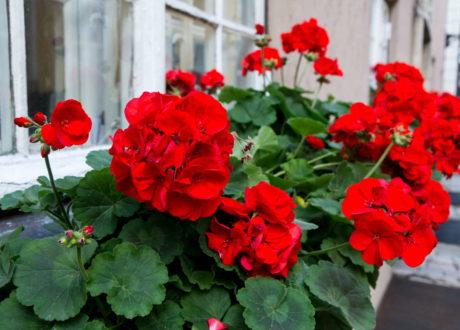Rote Geranien Am Fensterbrett