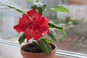 Hibikus Mit Roten Blüten