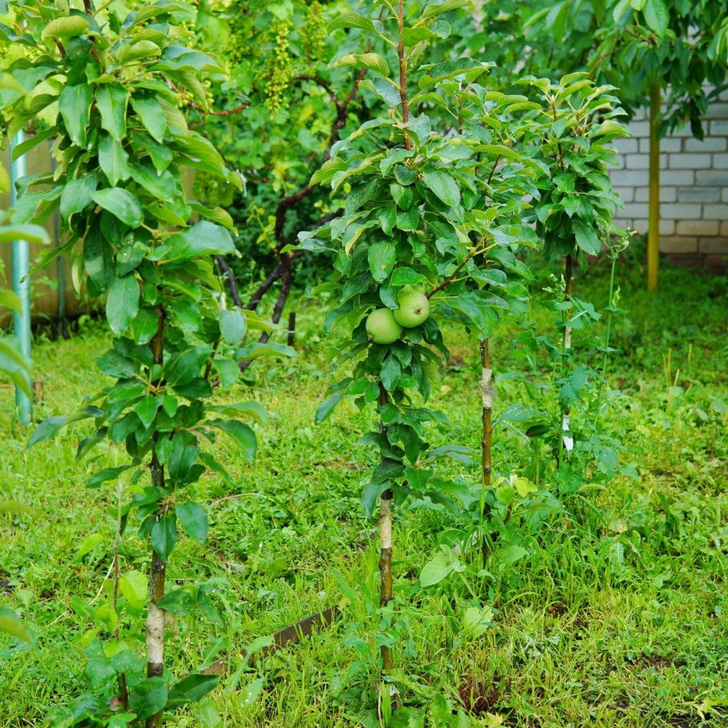 Säulenapfelbäume im Garten