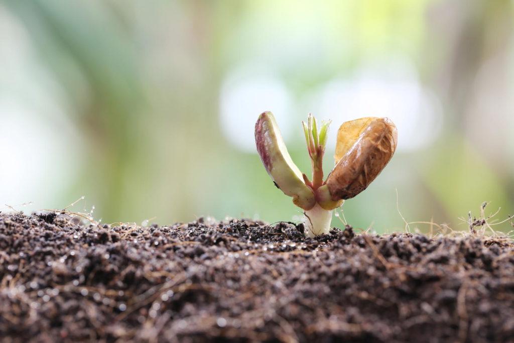 Keimling einer Erdnusspflanze