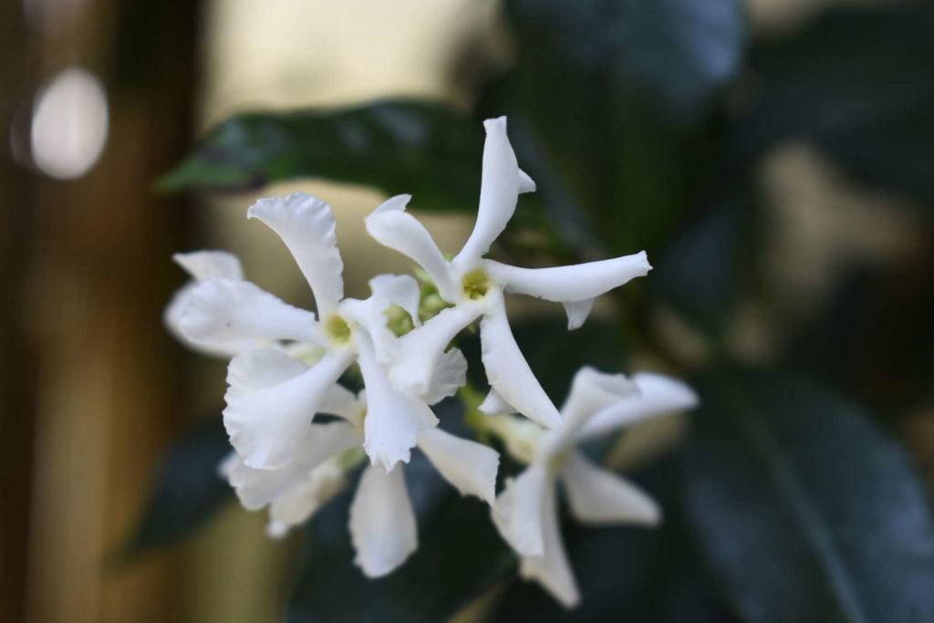 Sternjasmin einzelne Blüten
