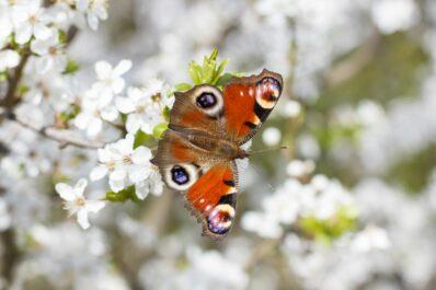 Die 15 beliebtesten heimischen Schmetterlingsarten