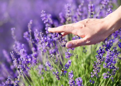 Hand An Lavendel Lila