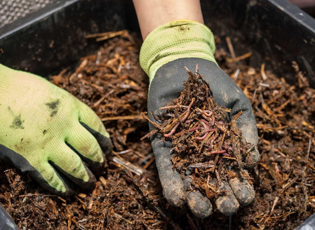 Würmer in einem Kompost werden mit der Hnad herausgeholt