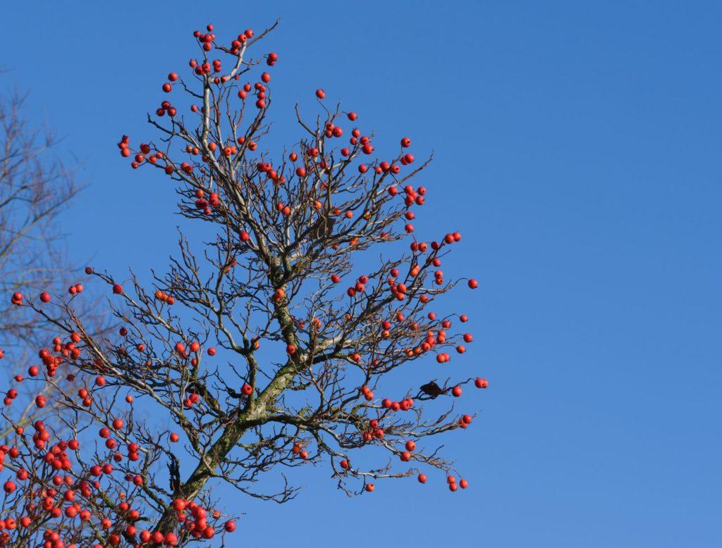 Apfeldorn-Ast mit Beeren