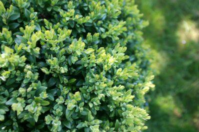 Buchsbaum pflegen: Experten-Tipps zu allen Maßnahmen