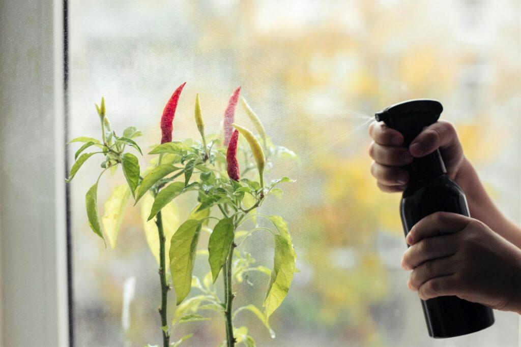 Chilis werden mit Sprühflasche befeuchtet