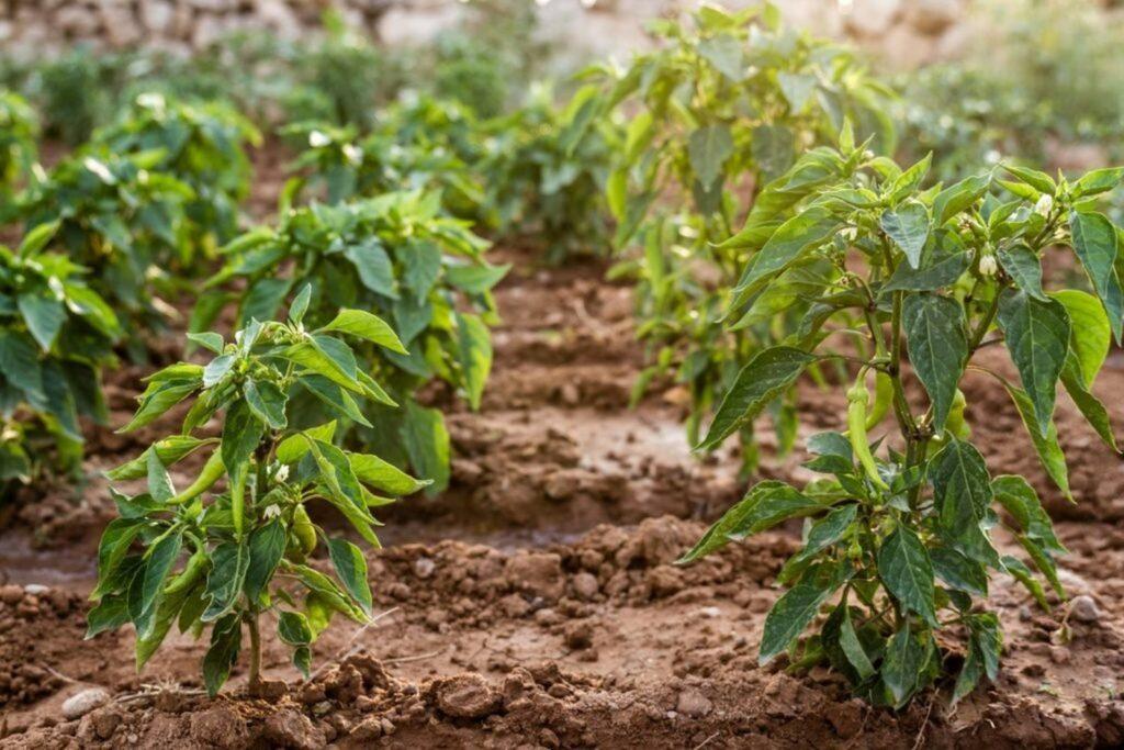 Chili-Pflanzen im Beet
