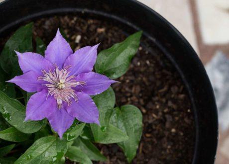 Lila Clematisblüte In Einem Topf