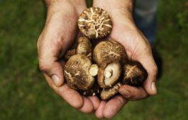 Pilzzucht auf Kaffeesatz: Speisepilze aus der eigenen Küche