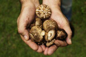 Pilze Aus Eigener Zucht In Händen Gehalten