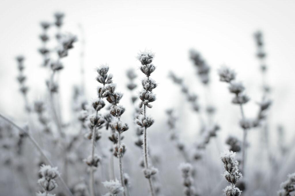 gefrorener Lavendel