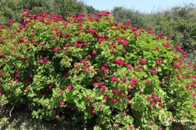 Geranien düngen: Wann, wie & womit zur perfekten Blüte?