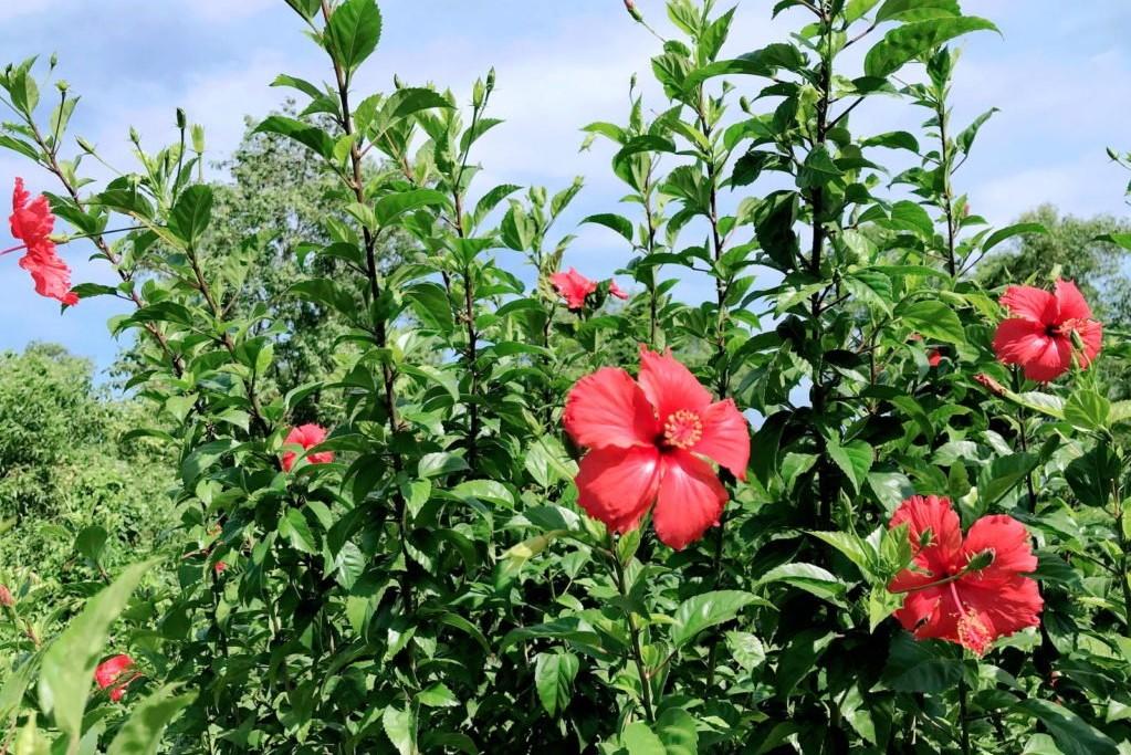 Hibiskusbusch mit Blüten