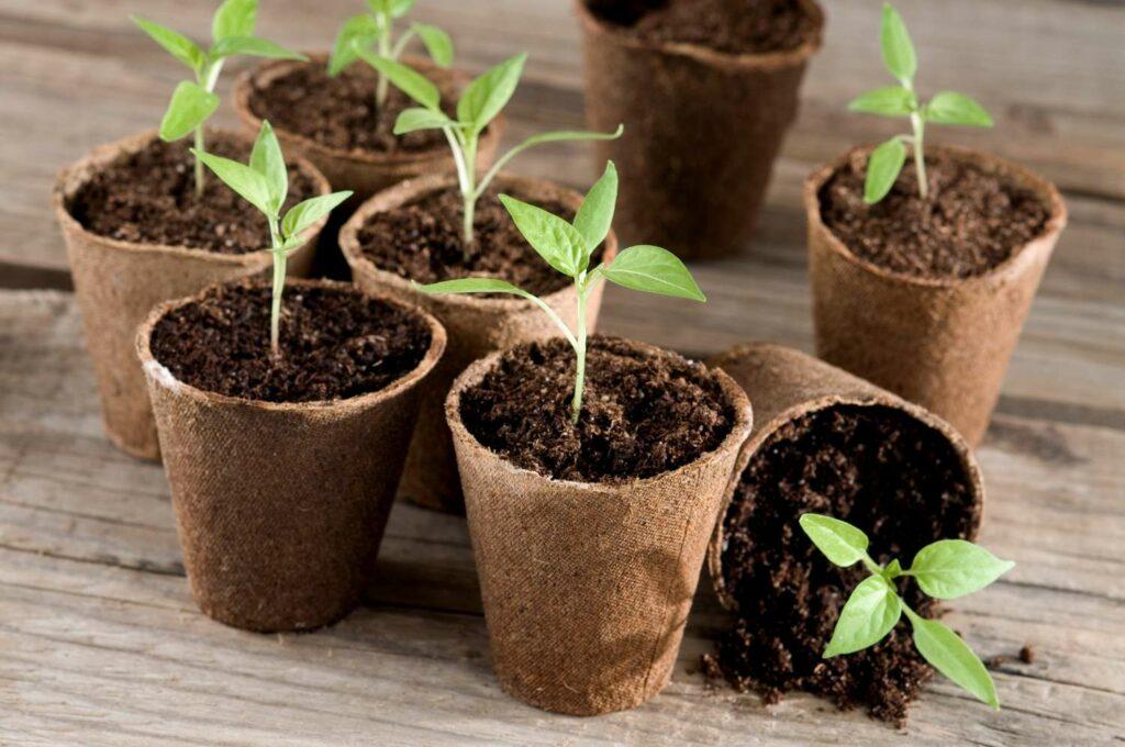 Junge Chilipflanzen in Anzuchttöpfchen
