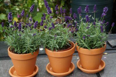 Lavendel im Topf pflanzen: Lavendel für Terrasse & Balkon