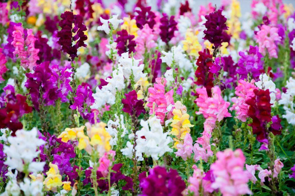 Löwenmäulchen mit bunten Blüten