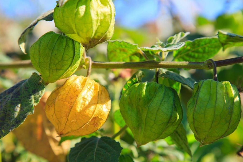 Physalis-Beeren an der Pflanze