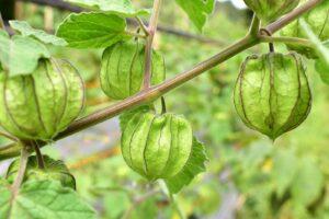 Physalispflanze Mit Lampions