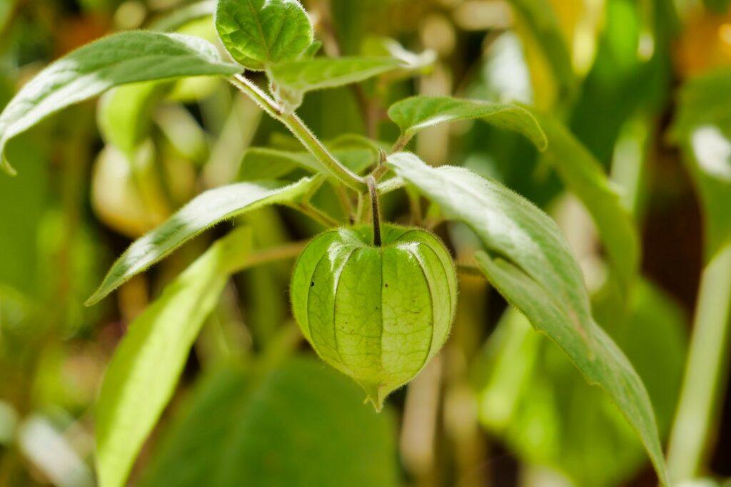 Eine Physalis-Frucht an der Pflanze