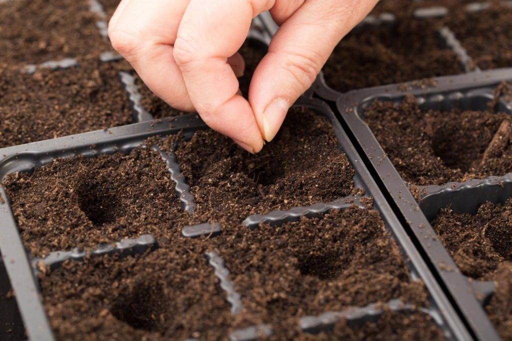 Physalis-Samen werden ausgesät