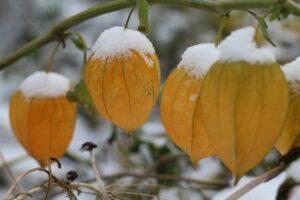 Physalis Mit Schnee