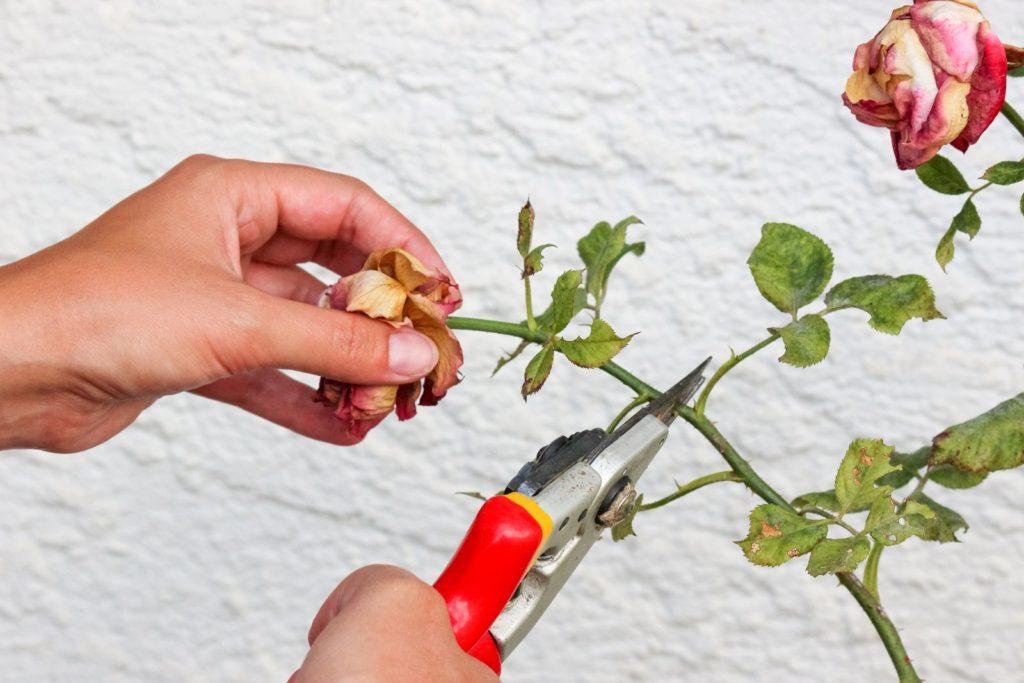 27+ Rosen im winter schneiden Sammlung