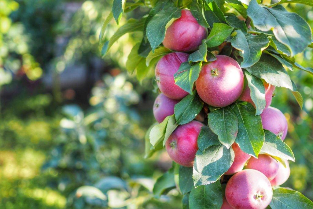 Säulenapfelbaum mit Äpfeln