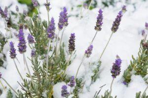 Lavendel Im Schnee Blühend