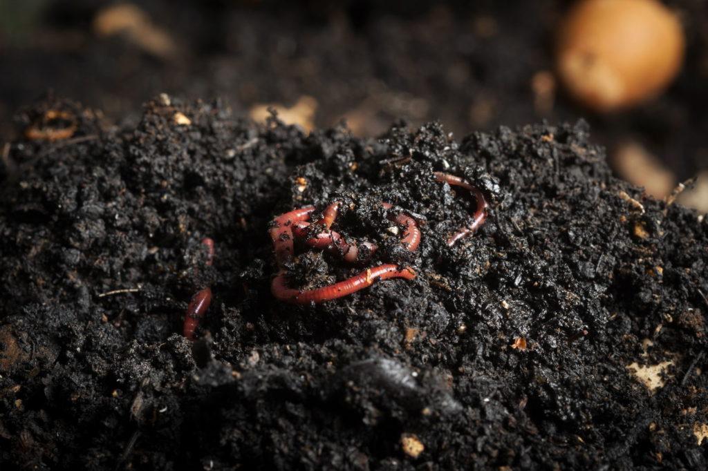 Würmer in Komposterde