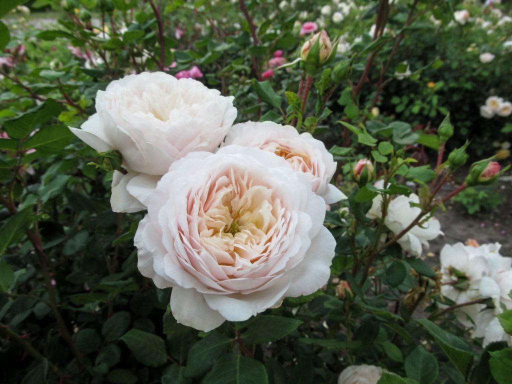 Rose Artemis