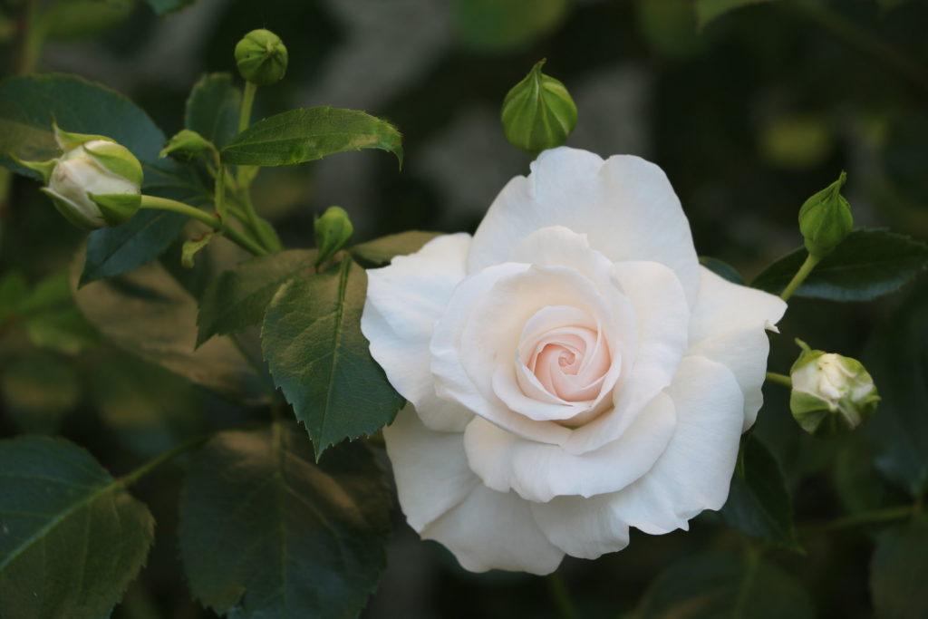 Rose Aspirin