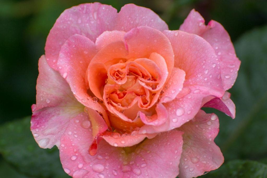 Rosa Rose mit Wassertropfen