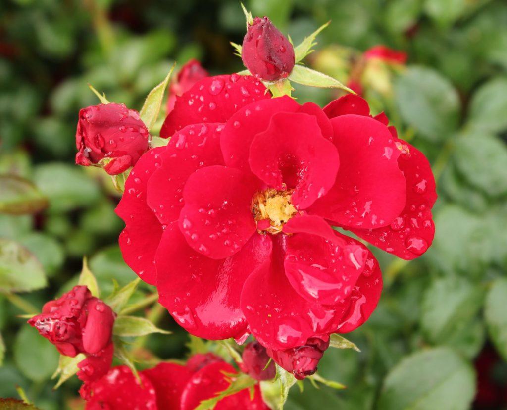 Rose Austriana