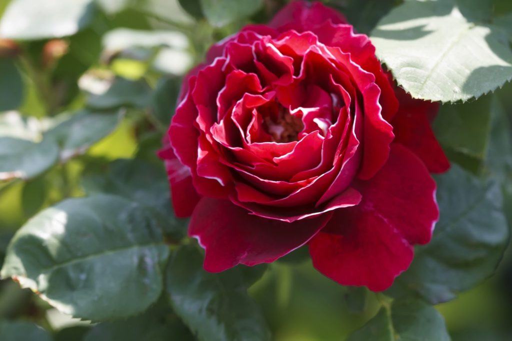 Rose Baron Girod de l'Ain