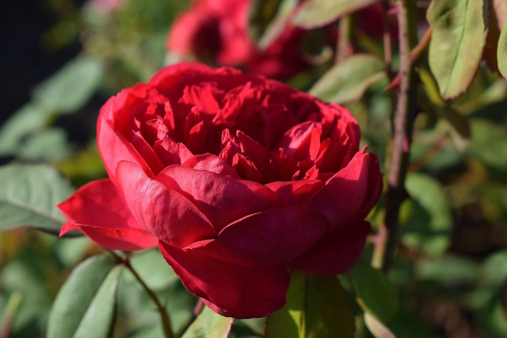Rose Benjamin Britten