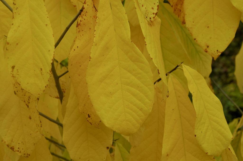 Blätter der Indianerbanane in Gelb