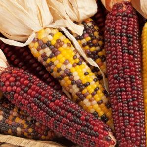 Bunte Maiskolben In Gelb Und Rot
