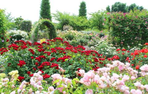 Rosen: Alles Zu Pflanzen, Pflege & Sorten Der Blumenkönigin