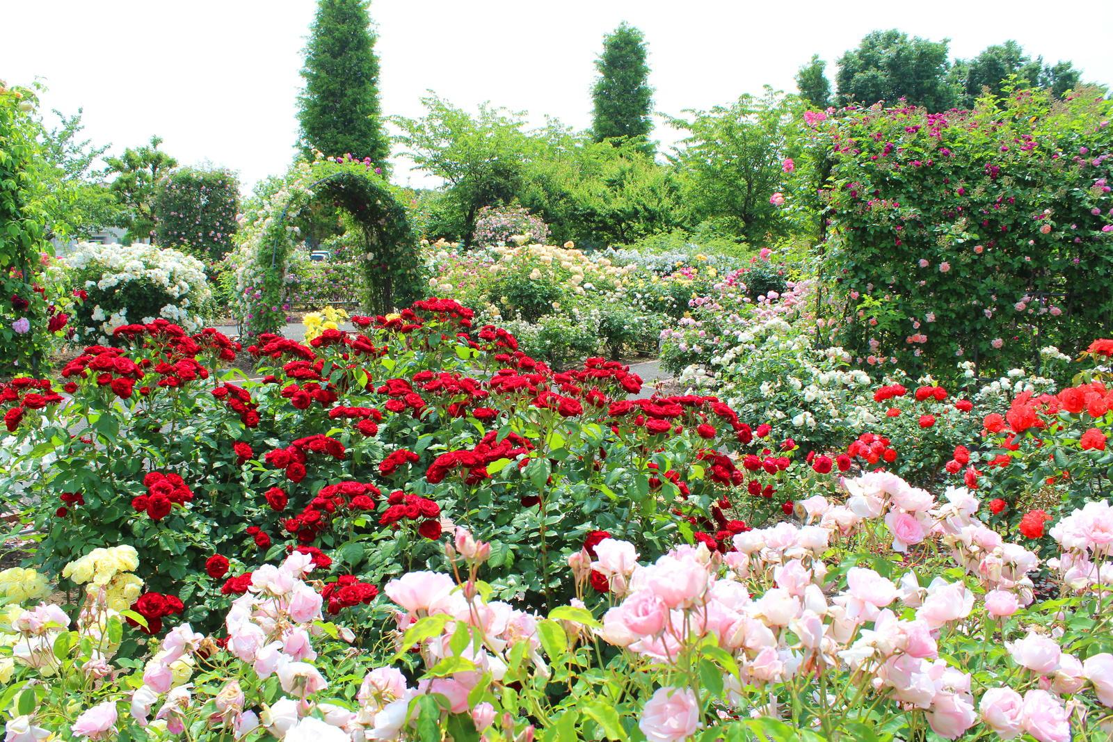 Rosen Alles Zu Pflanzen Pflege Sorten Der Blumenkonigin Plantura