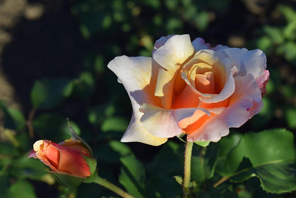 Caramella im Garten