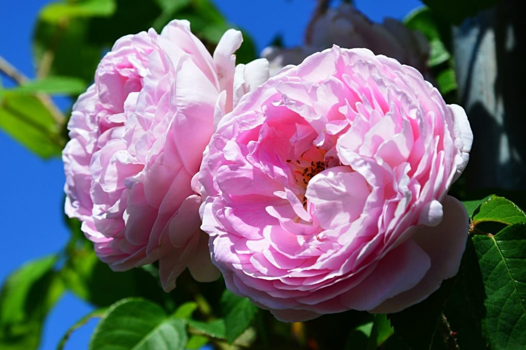 Rose Constance Spry