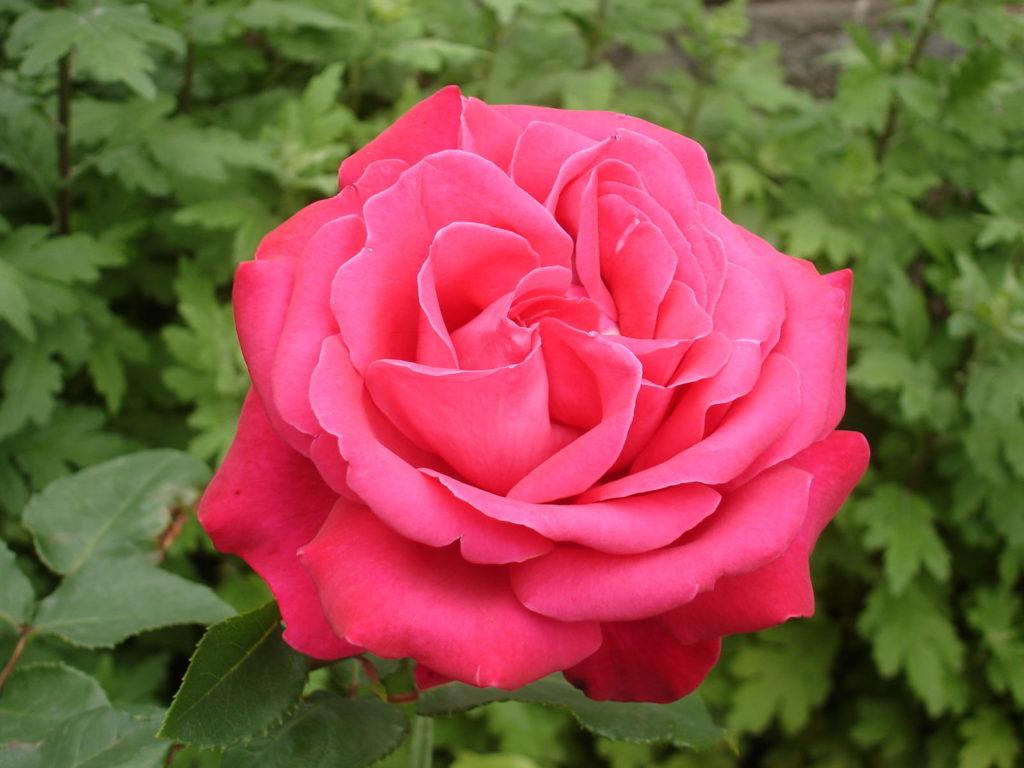 Pinkte Rose