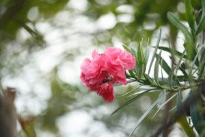 Einzelne Oleanderblüte Am Busch