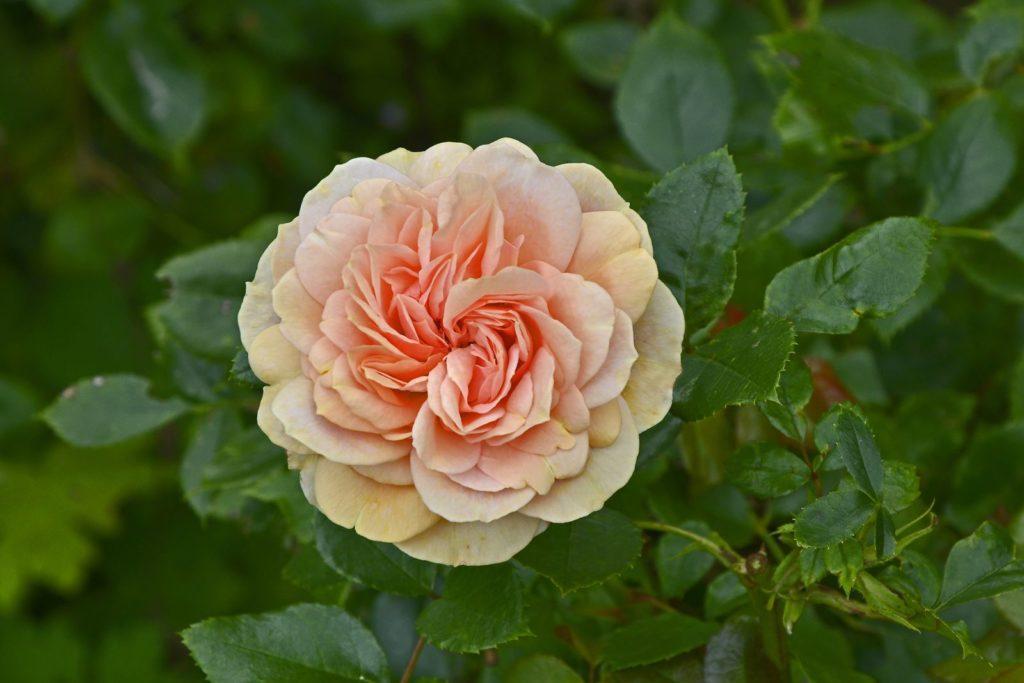 Rose Garden of Roses